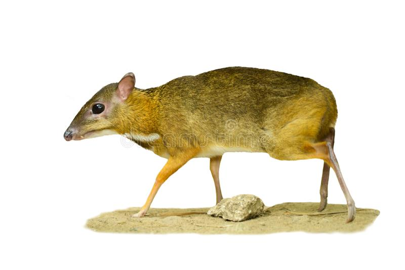 Lesser Mouse-deer. Looks like a deer, and the animal`s hooves, the smallest in the world stock photography