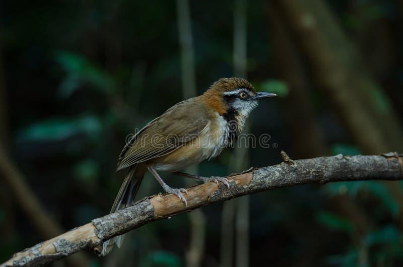 Lesser Necklaced Laughingthrush Garrulax monileger. In nature, Thailand stock image