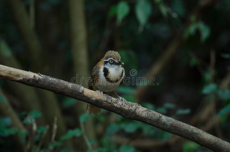Lesser Necklaced Laughingthrush Garrulax monileger. In nature, Thailand royalty free stock photos