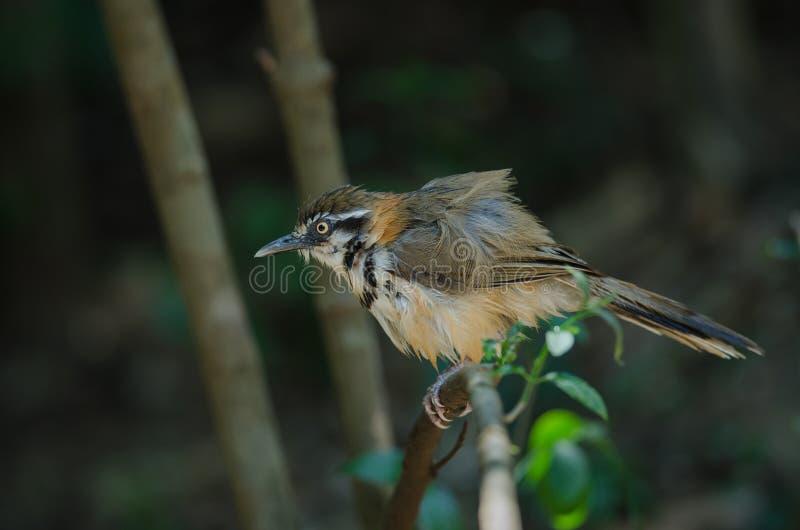 Lesser Necklaced Laughingthrush Garrulax monileger in nature, Thailand. Lesser Necklaced Laughingthrush Garrulax monileger in nature stock photography