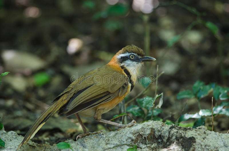 Lesser Necklaced laughingthrush Garrulax moniliger. In tropical forest, Thailand royalty free stock photos