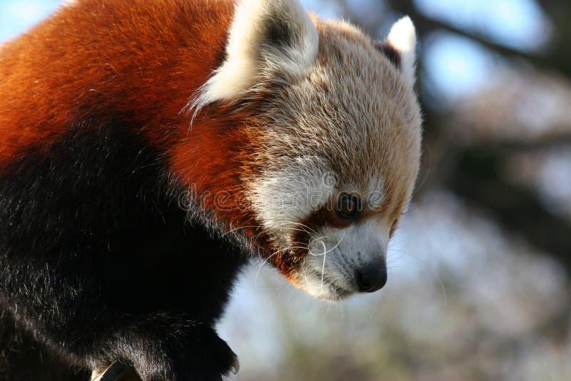 lesser panda arkivbild