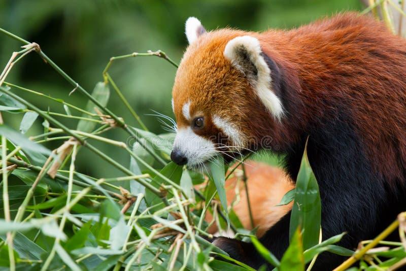Download Lesser Panda stock image. Image of bhutan, cute, bamboo - 26903137