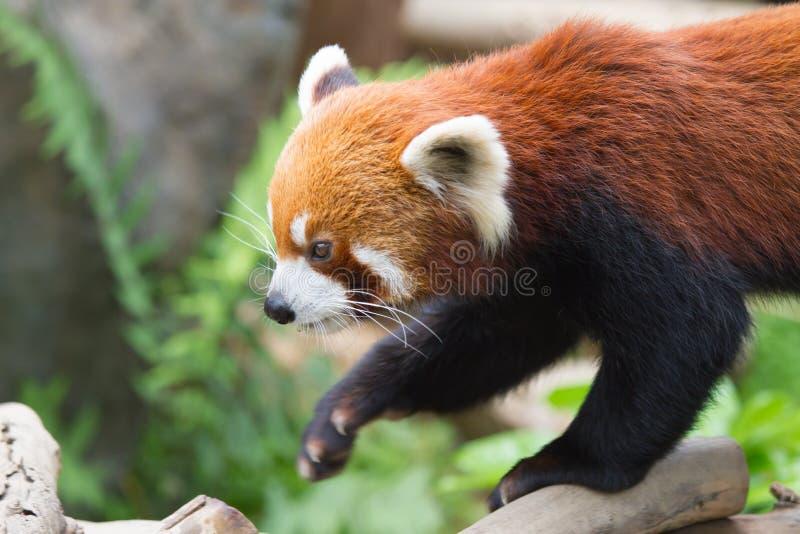 Download Lesser Panda stock photo. Image of foliage, chinese, asia - 26903152