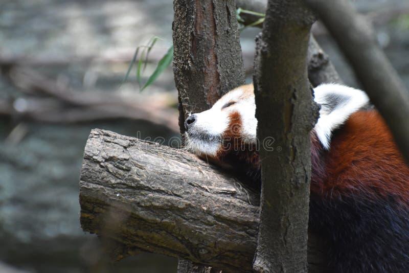 Lesser Panda Bear Sleeping op een Boomtak royalty-vrije stock foto