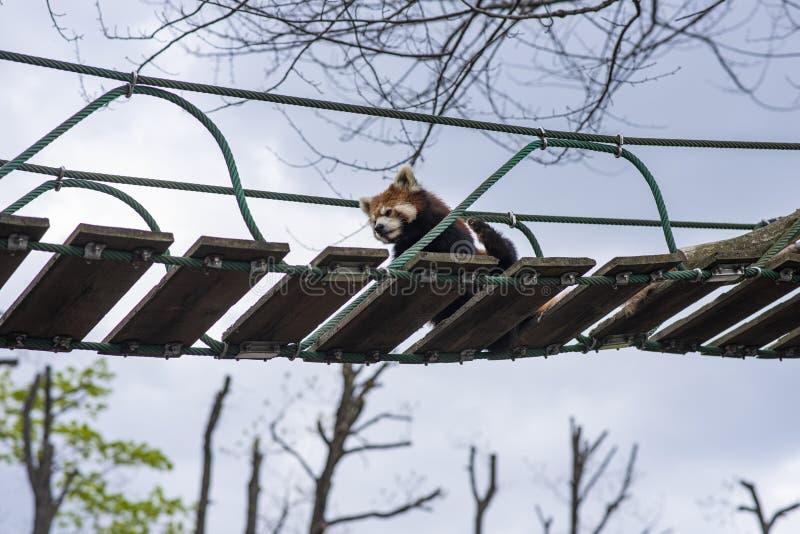 Lesser Panda che si rilassa su un ponte sospeso fotografie stock libere da diritti
