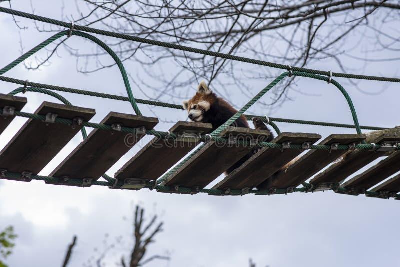 Lesser Panda che si rilassa su un ponte sospeso immagini stock