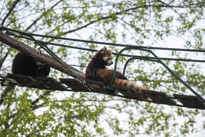 Lesser Panda che si rilassa su un ponte sospeso fotografia stock