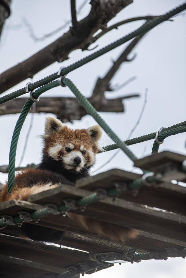 Lesser Panda che si rilassa su un ponte sospeso immagini stock libere da diritti