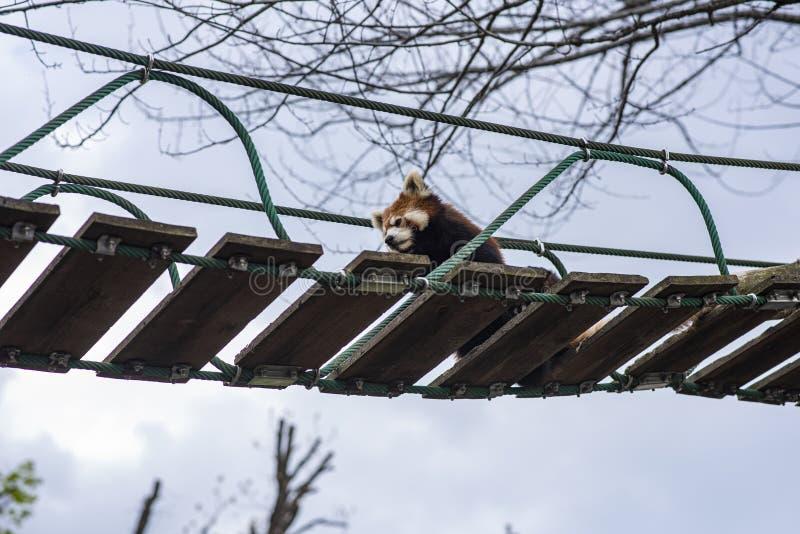 Lesser Panda che si rilassa su un ponte sospeso immagine stock libera da diritti