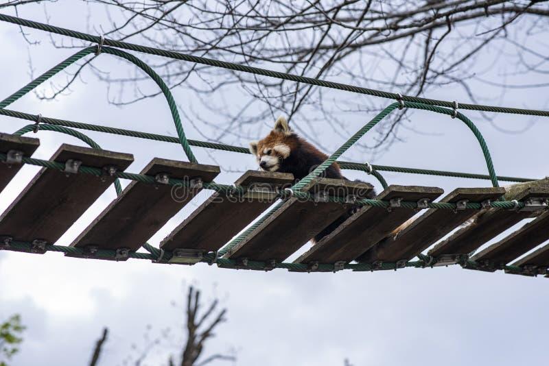Lesser Panda che si rilassa su un ponte sospeso fotografia stock libera da diritti