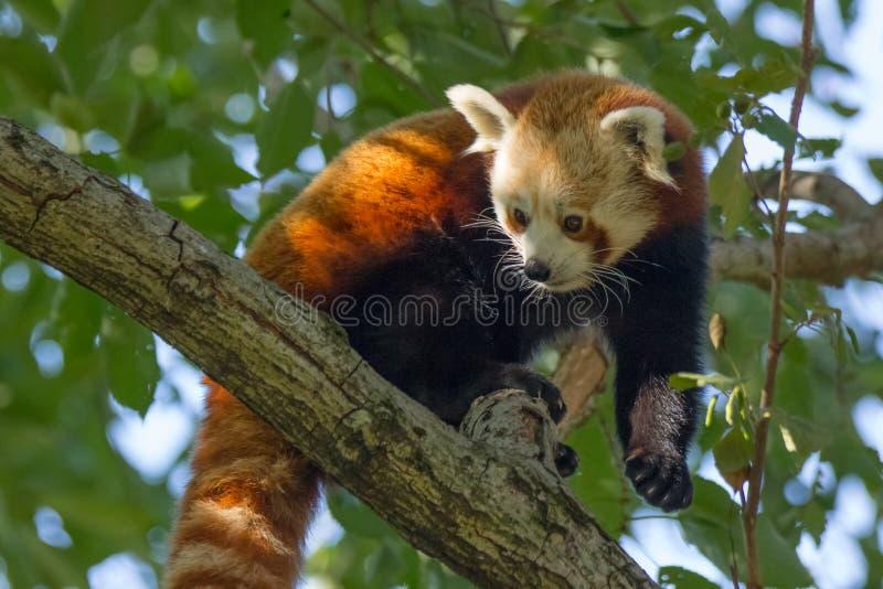 Lesser Panda eller röd panda arkivbilder