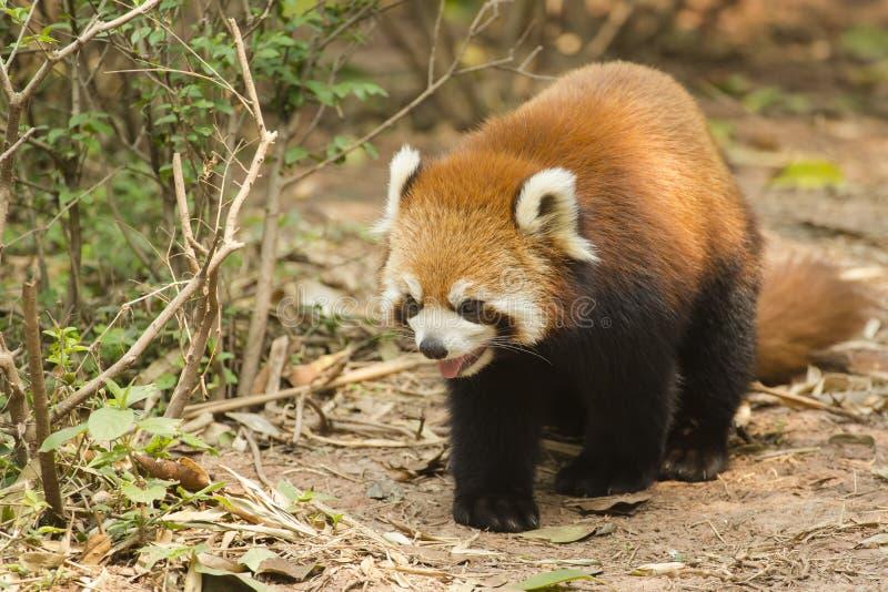 Lesser Panda Panting, medan gå royaltyfri bild