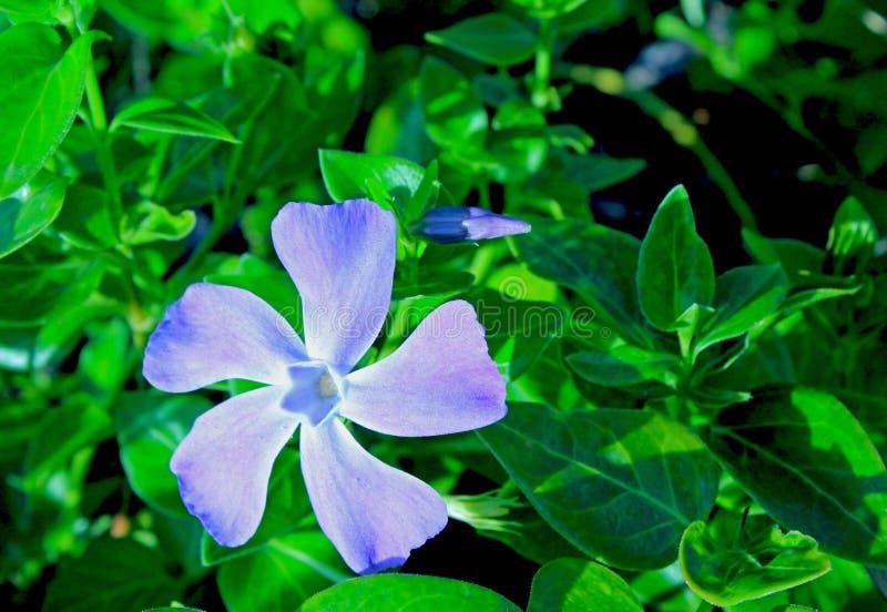 Lesser periwinkle, dwarf periwinkle, Vinca minor. Vinca minor common names lesser periwinkle or dwarf periwinkle is a species of flowering plant. Periwinkle is a royalty free stock photo