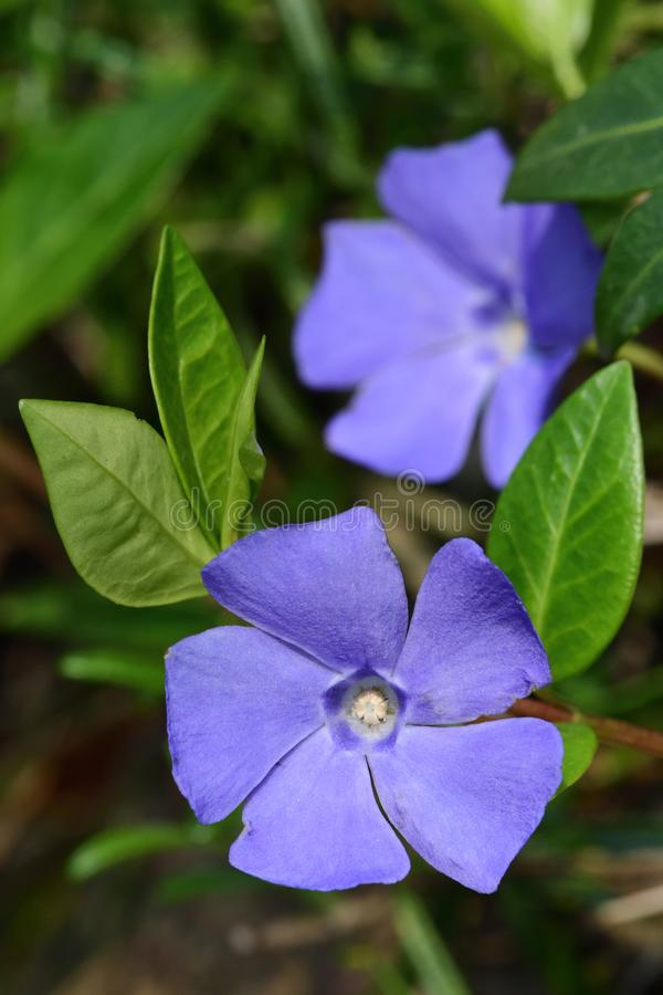 Lesser periwinkle vinca minor. Close up of lesser periwinkle flowers vinca minor in bloom royalty free stock image