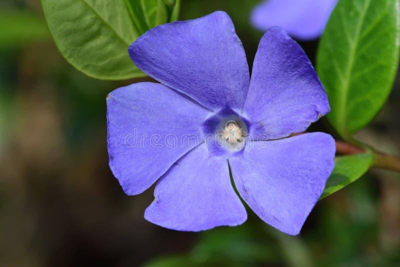 Lesser periwinkle vinca minor. Close up of lesser periwinkle flowers vinca minor in bloom stock photography