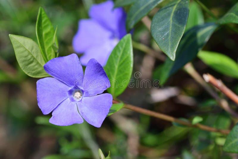 Lesser periwinkle vinca minor. Close up of lesser periwinkle flowers vinca minor in bloom stock photo