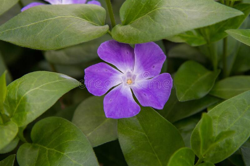 The Lesser periwinkle plant stock photo