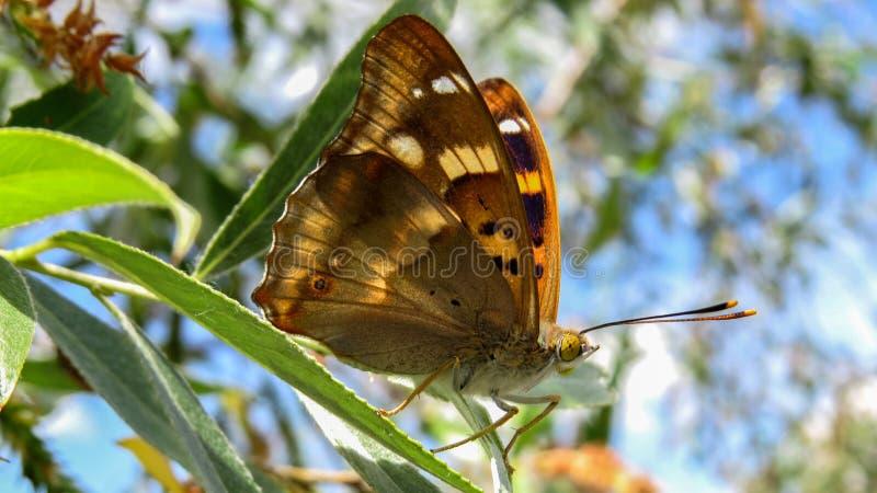 Lesser Purple Emperor-vlinder - Apatura Ileia stock afbeeldingen