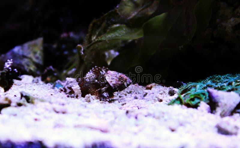 Lesser Red Scorpionfish - Scorpaena Notata stock foto