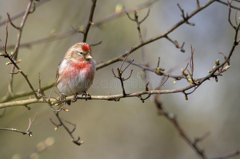 Lesser Redpoll, Carduelis cabaret, resting perched on a twig in a tree with a diffuse background showing the distinctive red chest. And red forehead. Taken at stock photo