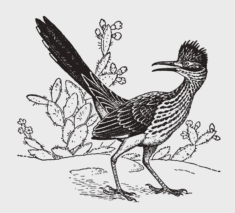 Lesser roadrunner geococcyx velox sitting in front of a cactus plants and looking backwards. Illustration after a historic engraving from the early 20th royalty free illustration