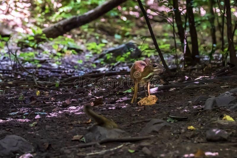 Lesser rogacza Tragulus kanchil odprowadzenie w istnej naturze przy Kengkracharn parkiem narodowym, Tajlandia obrazy royalty free