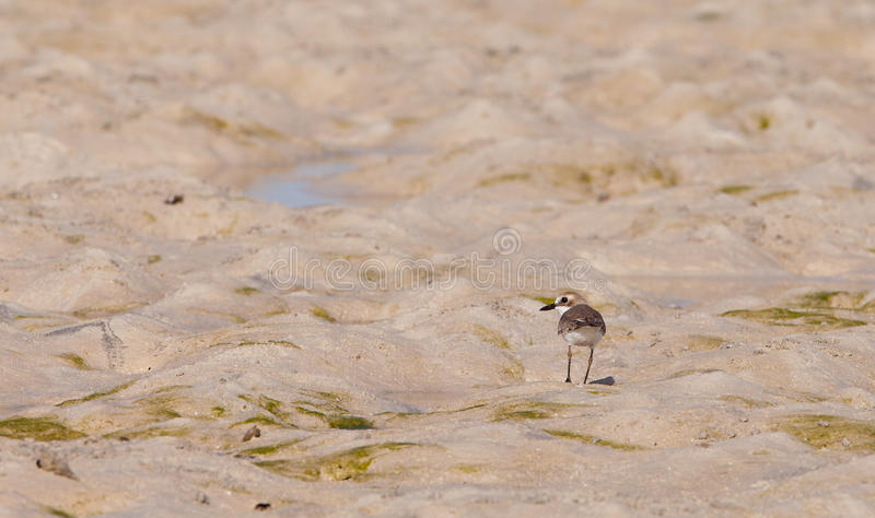 Download Lesser Sand Plover stock image. Image of kenyan, charadrius - 25036971