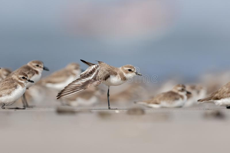 Lesser sandplover in Non breeding Plumage Stretching Wings at Akshi Beach,Maharashtra,India. Asia stock images