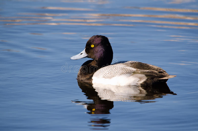 Lesser scaup (Aythya affinis) stock photography