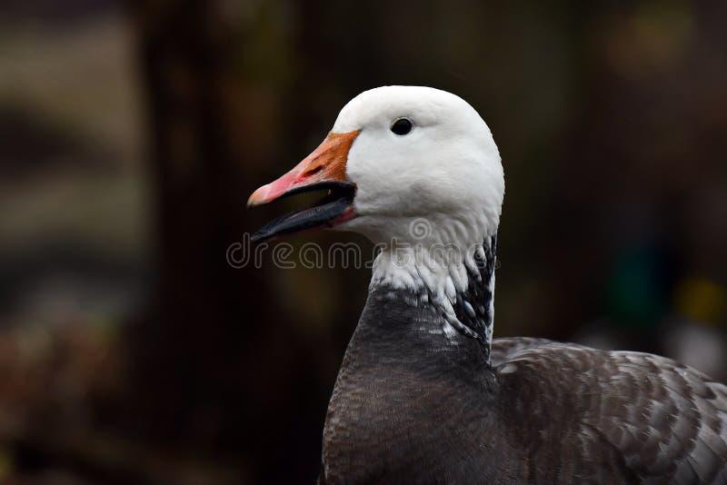Lesser Snow Goose blå morf royaltyfria foton