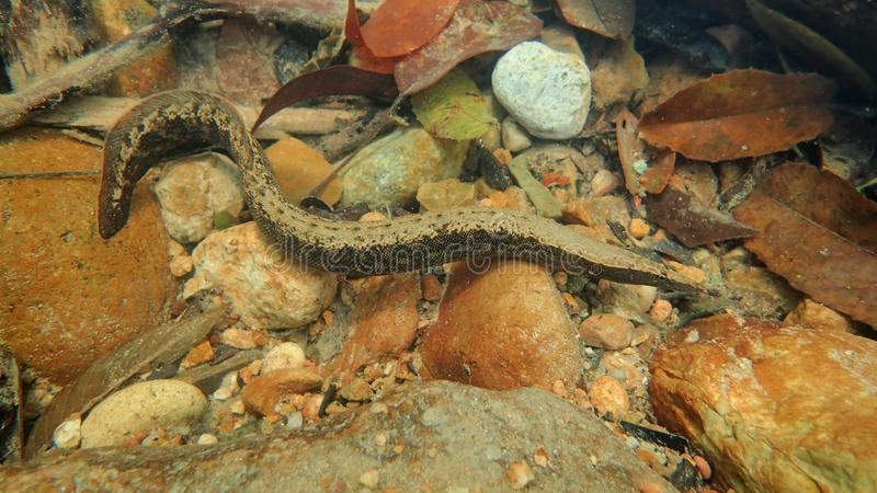 Lesser Spiny Eel stock foto's
