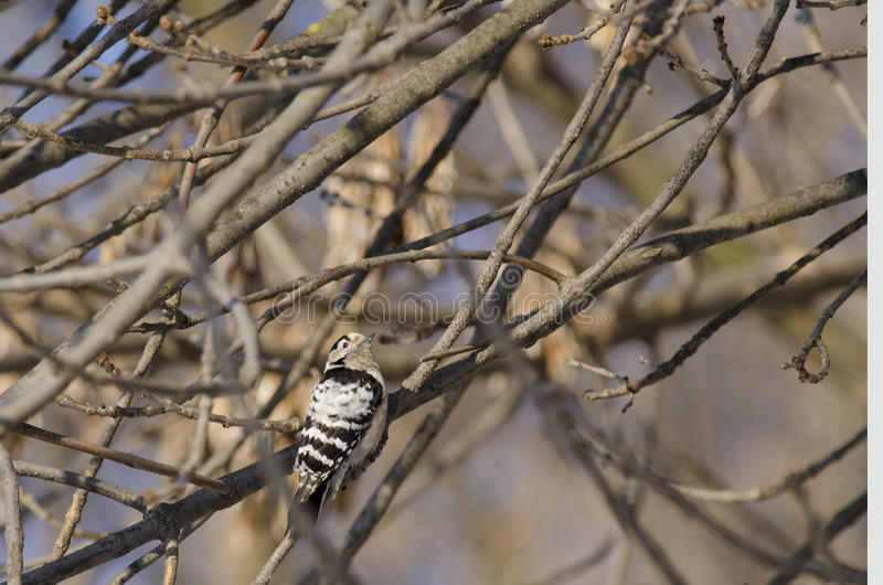 Lesser Spoted Woodpecker Stock Photography