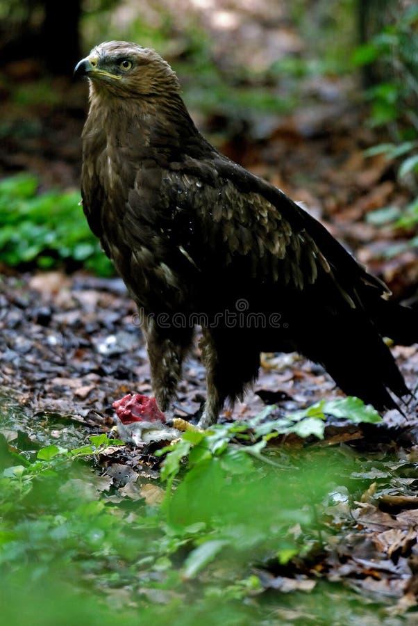 Lesser spotted eagle. Nikon d200, nikkor 4/300 royalty free stock images
