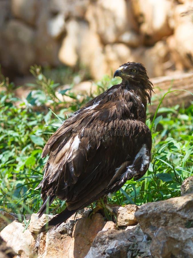 Lesser Spotted Eagle s'assied sur une roche images stock