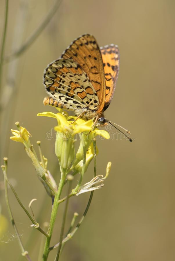 Lesser Spotted Fritillary butterfly - Melitaea trivia stock photos