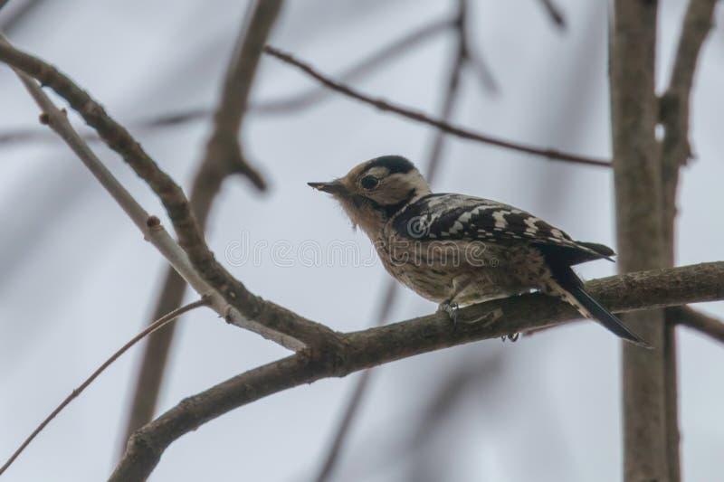 Lesser Spotted Woodpecker en el menor de Dryobates de la rama fotos de archivo