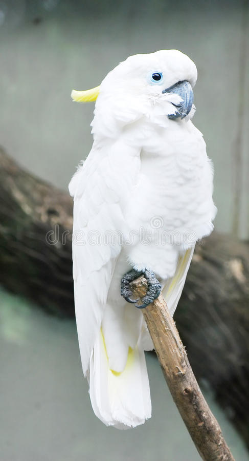 lesser sulphur-crested cockatoo royalty free stock photos