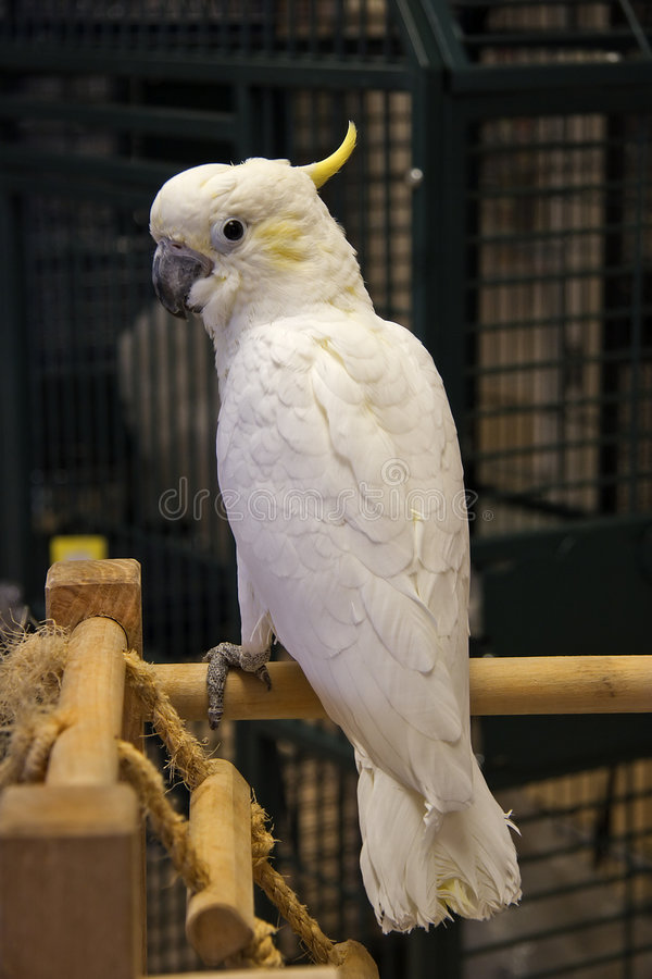 Lesser Sulphur-Crested Cockatoo royalty free stock photo