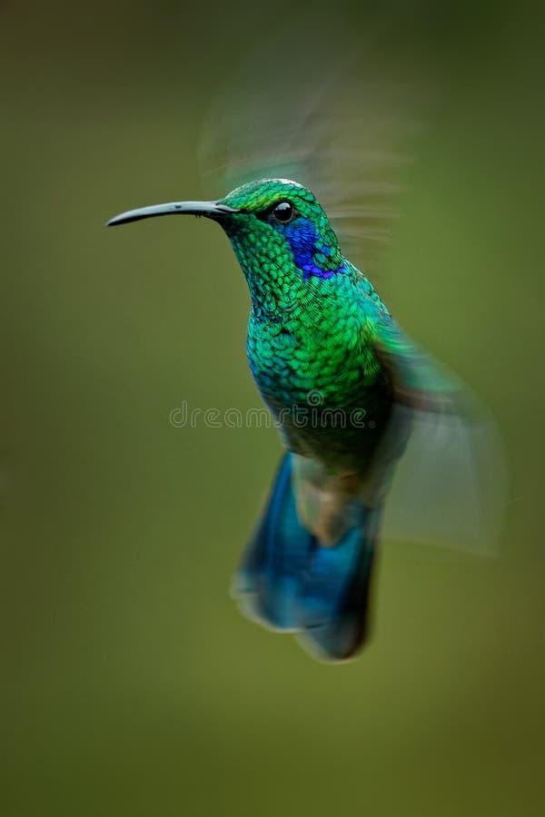 Lesser Violetear- - Colibri-cyanotus - Gebirgsviolettohr, metallische grüne Kolibrispezies fand allgemein von Costa Rica zu stockfotografie