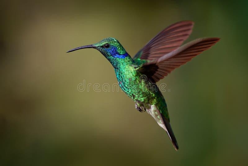 Lesser Violetear- - Colibri-cyanotus - Gebirgsviolettohr, metallische grüne Kolibrispezies fand allgemein von Costa Rica zu lizenzfreie stockfotografie