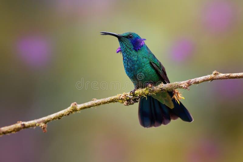 Lesser Violetear- - Colibri-cyanotus - Gebirgsviolettohr, metallische grüne Kolibrispezies fand allgemein von Costa Rica zu stockfotos