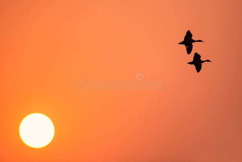 Lesser vissla duckar flyg på solnedgången i den Keoladeo Ghana nationen royaltyfria bilder