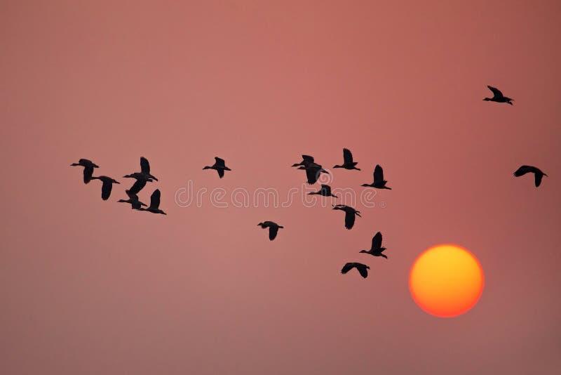 Lesser vissla duckar flyg på solnedgången i den Keoladeo Ghana nationen royaltyfri bild