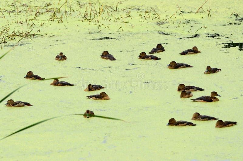 Download Lesser Whistling Duck (Dendrocygna Javanica) Stock Image - Image: 27884845