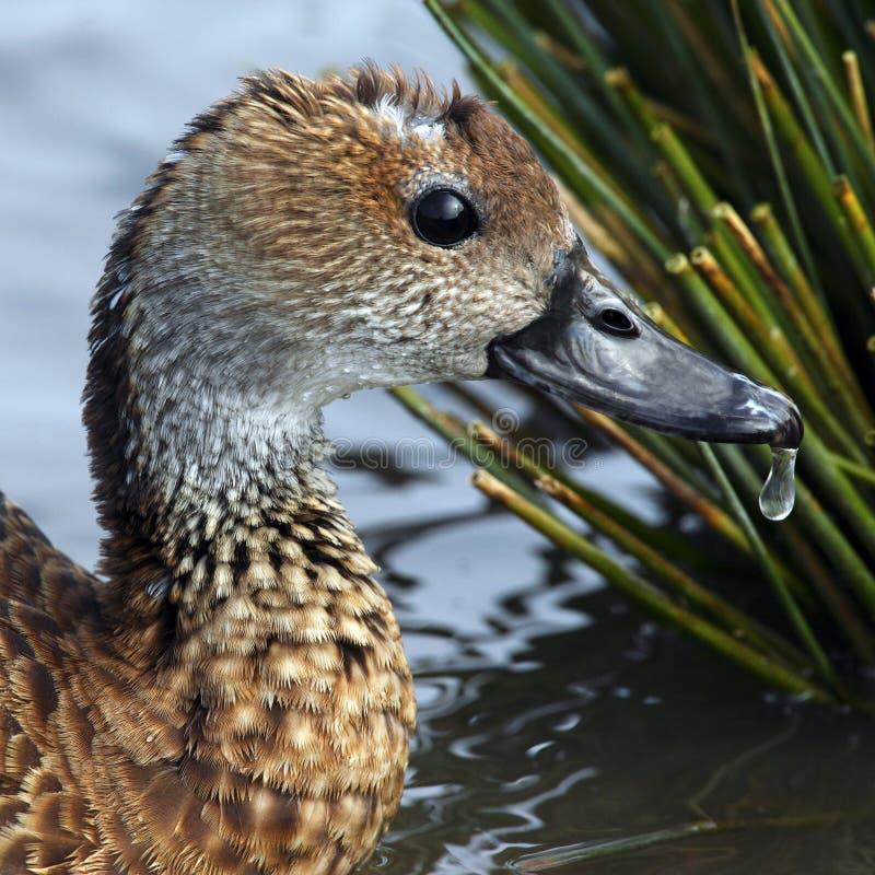 Lesser Whistling Duck Femenino Fotografía de archivo