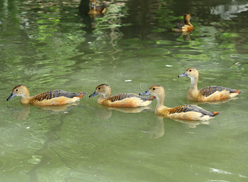 Lesser whistling duck group are swimming