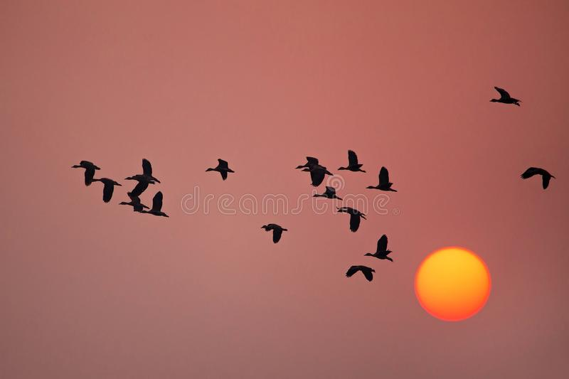 Lesser whistling ducks flying at sunset in Keoladeo Ghana Nation. Silhouetted Lesser whistling ducks flying at sunset in Keoladeo Ghana National Park, Bharatpur royalty free stock image