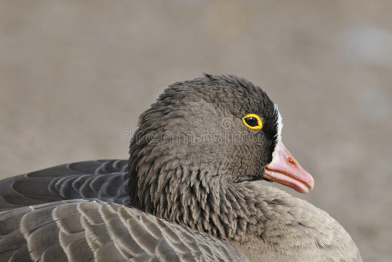 Download Lesser White-fronted Goose stock image. Image of ring - 11367961