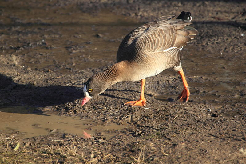 Download Lesser white-fronted goose stock image. Image of puddle - 23186659